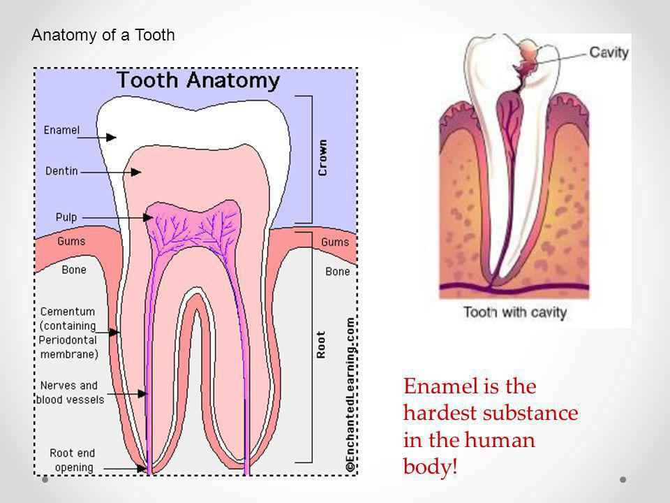 Enamel is the hardest substance in the human body!