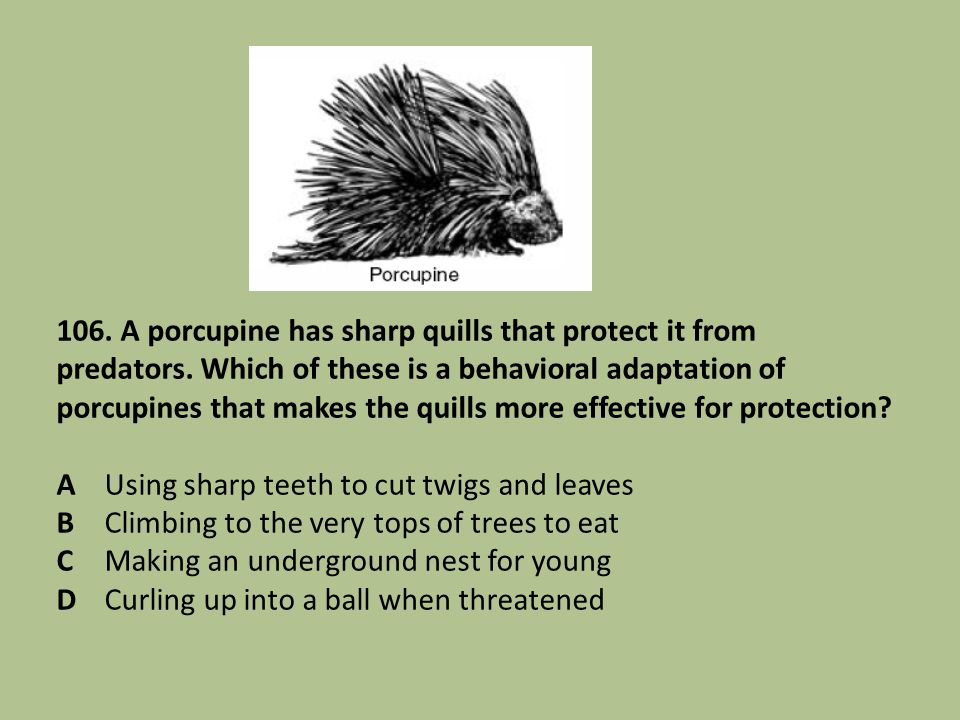 106. A porcupine has sharp quills that protect it from predators
