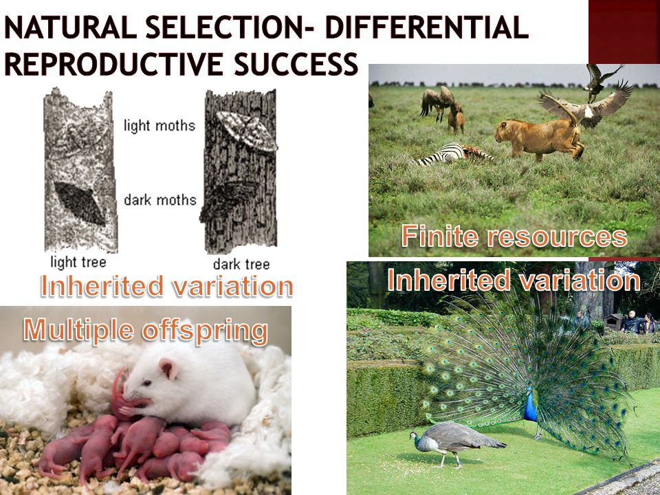 Natural selection- differential reproductive success