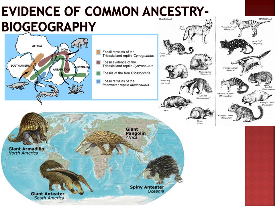 Evidence of Common ancestry- biogeography