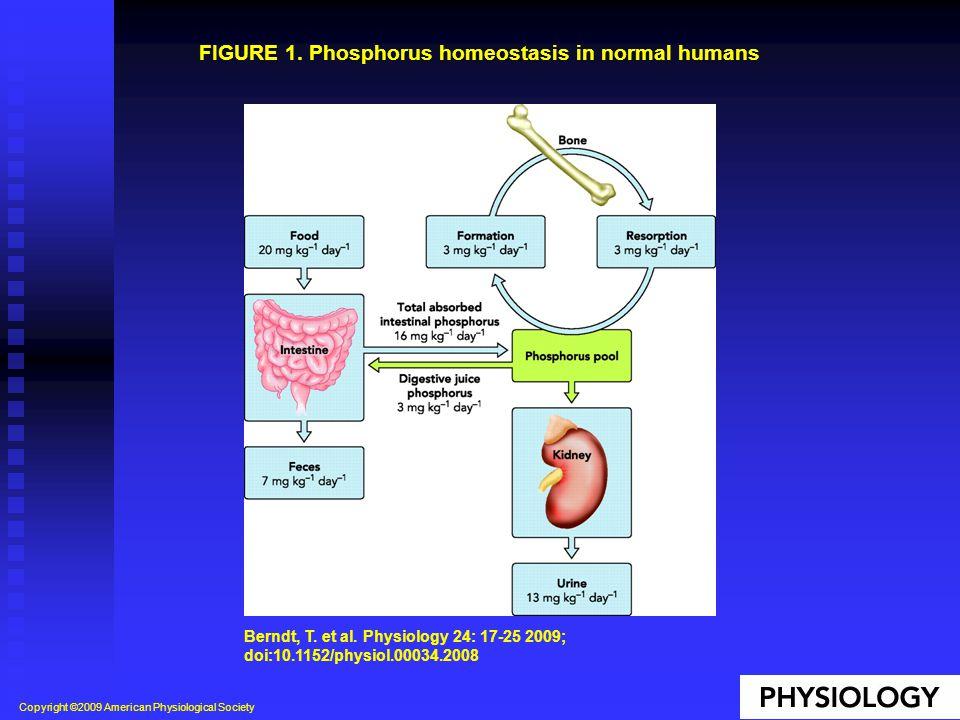 FIGURE 1. Phosphorus homeostasis in normal humans