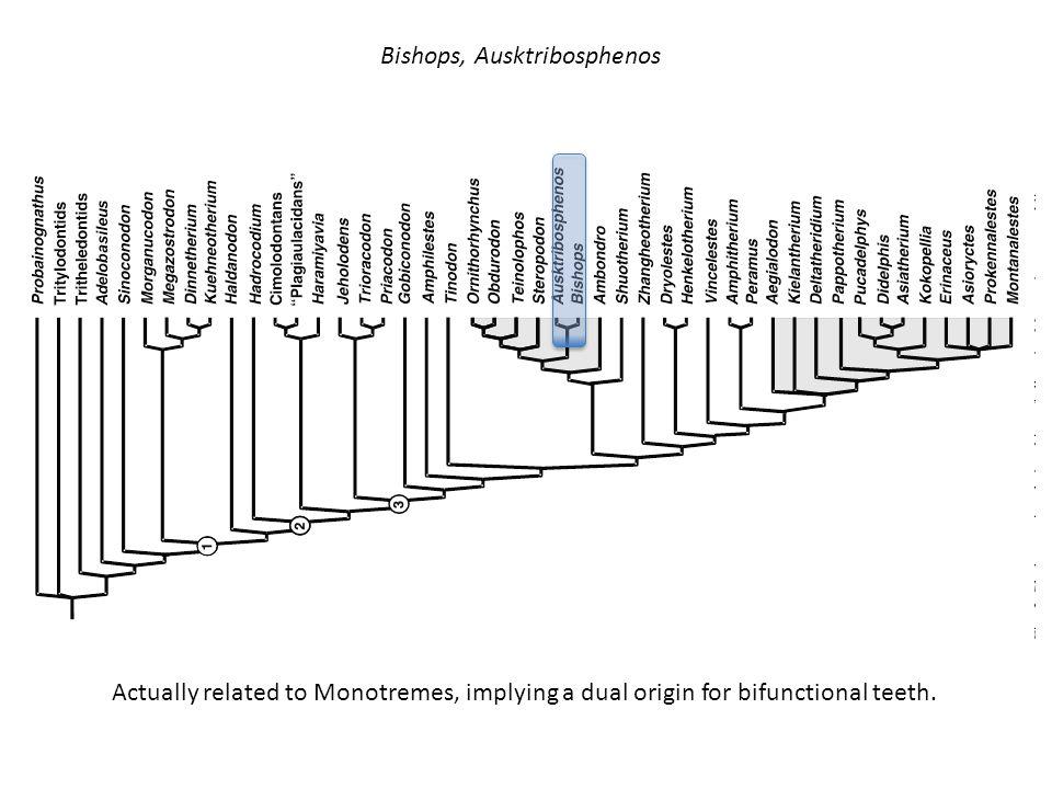 Bishops, Ausktribosphenos
