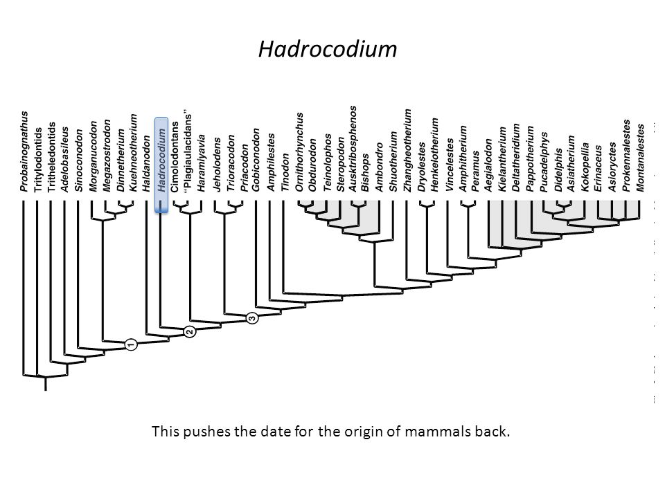 Hadrocodium This pushes the date for the origin of mammals back.