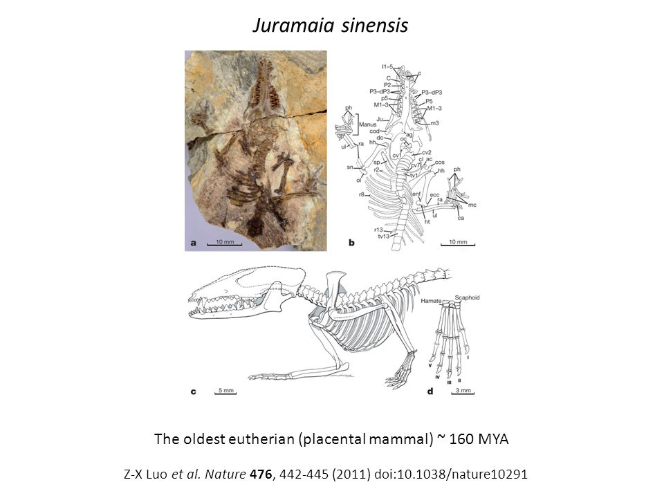 Juramaia sinensis The oldest eutherian (placental mammal) ~ 160 MYA