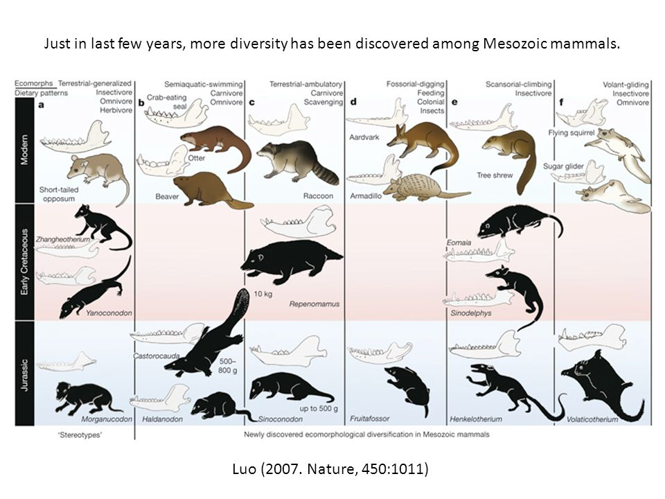 Just in last few years, more diversity has been discovered among Mesozoic mammals.