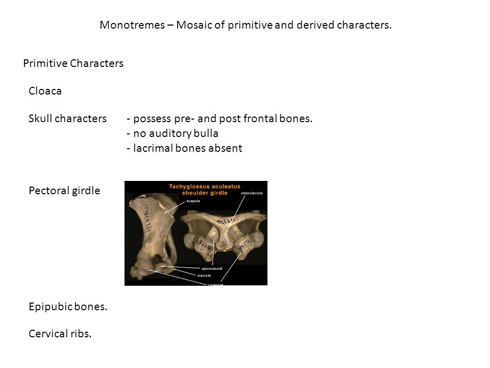 Monotremes – Mosaic of primitive and derived characters.