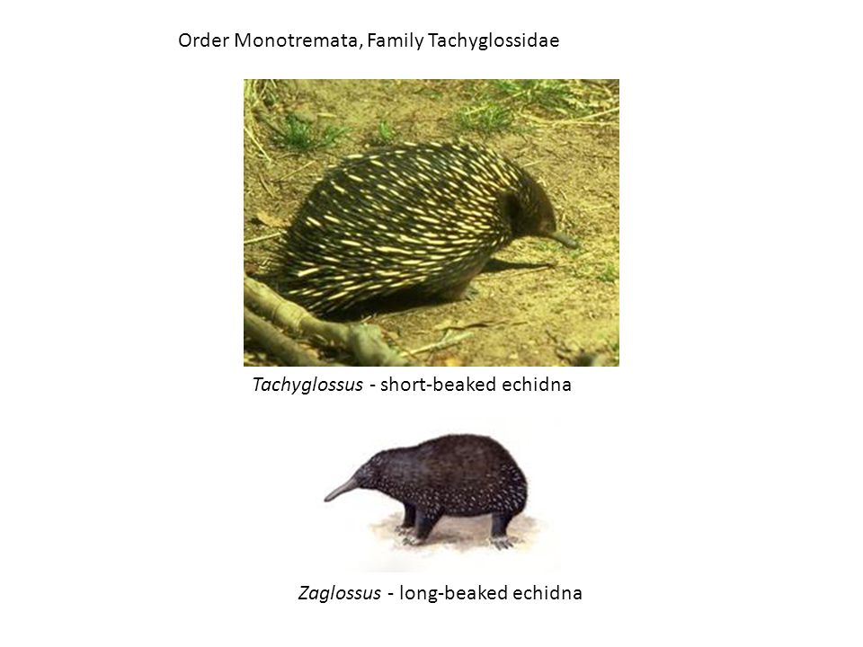 Order Monotremata, Family Tachyglossidae