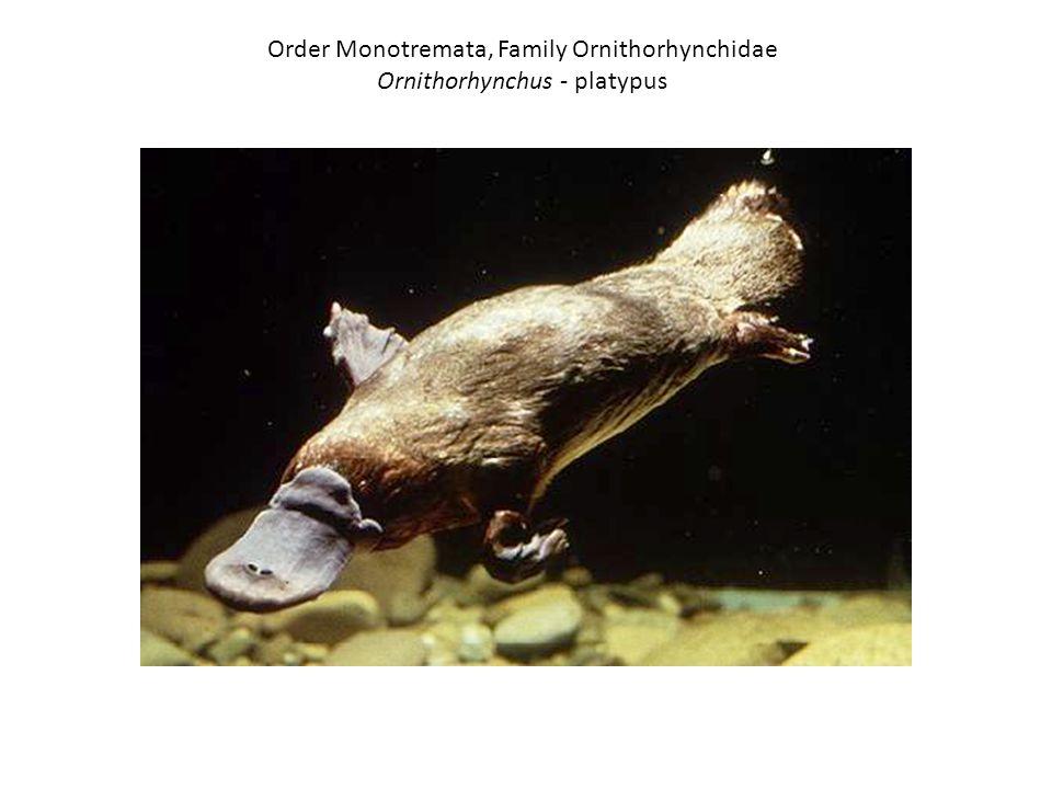 Order Monotremata, Family Ornithorhynchidae Ornithorhynchus - platypus