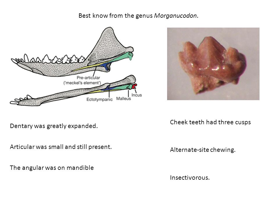 Best know from the genus Morganucodon.