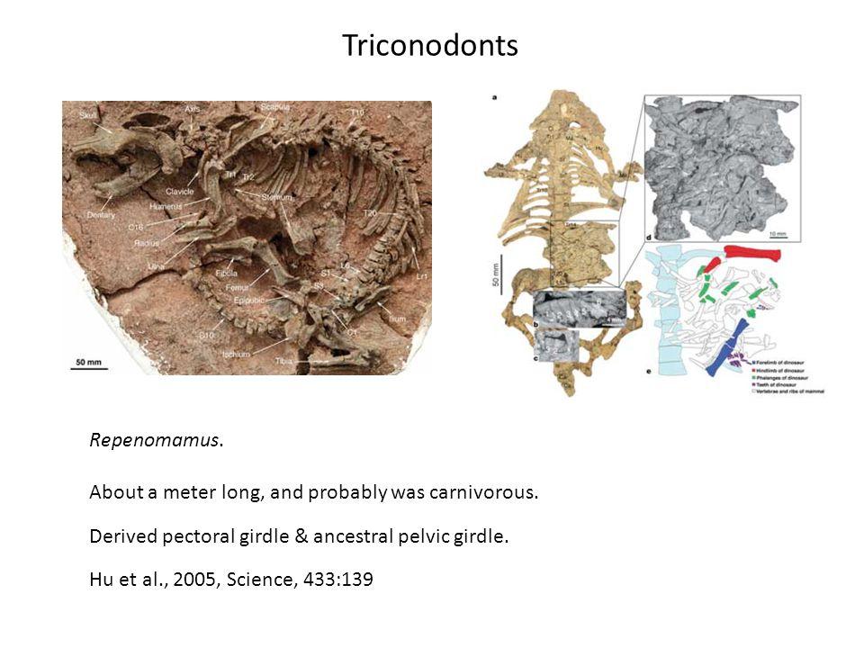 Triconodonts Repenomamus.