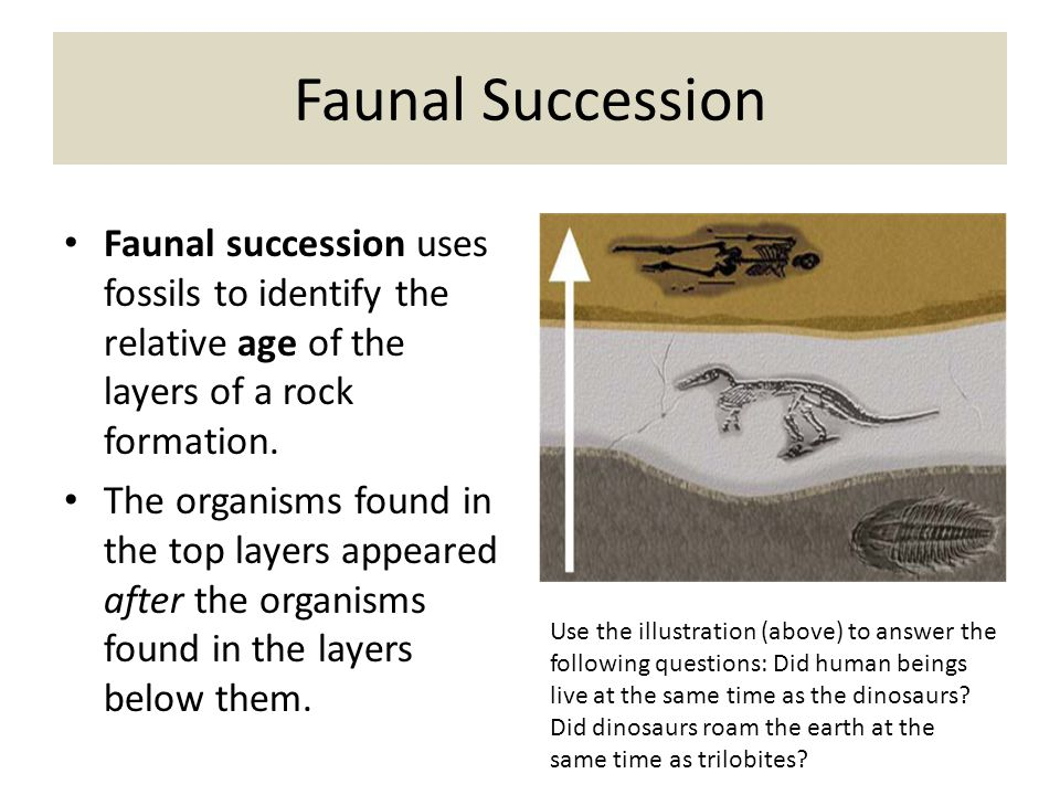 Faunal Succession Faunal succession uses fossils to identify the relative age of the layers of a rock formation.