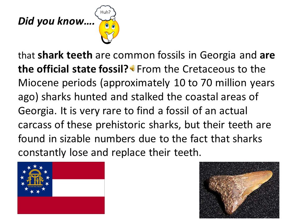 Did you know…. that shark teeth are common fossils in Georgia and are the official state fossil From the Cretaceous to the Miocene periods (approximately 10 to 70 million years ago) sharks hunted and stalked the coastal areas of Georgia. It is very rare to find a fossil of an actual carcass of these prehistoric sharks, but their teeth are found in sizable numbers due to the fact that sharks constantly lose and replace their teeth.