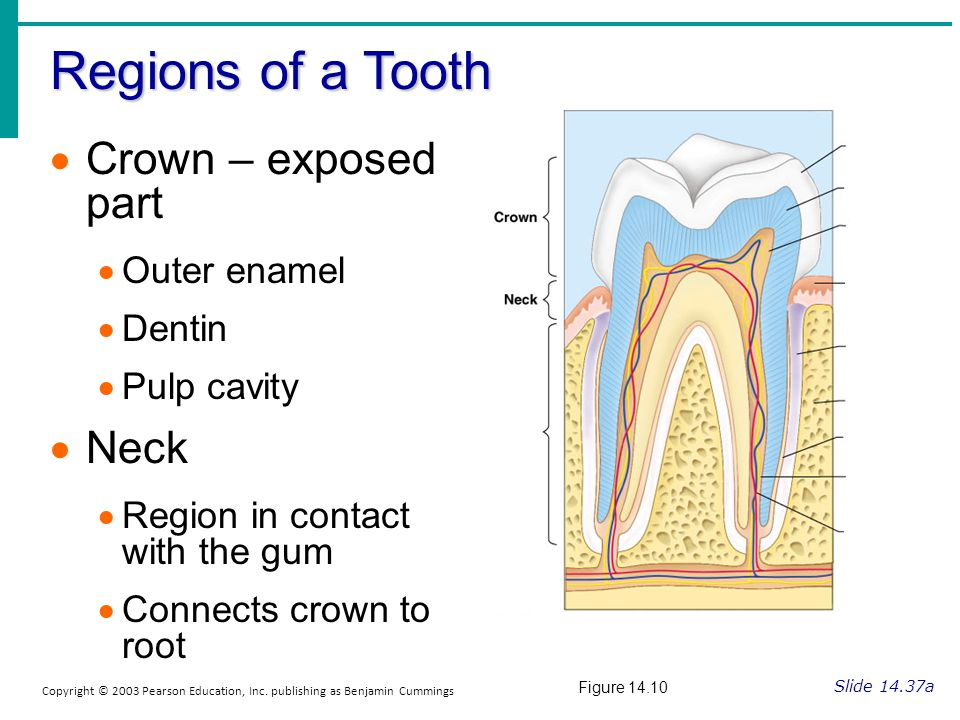 Regions of a Tooth Crown – exposed part Neck Outer enamel Dentin