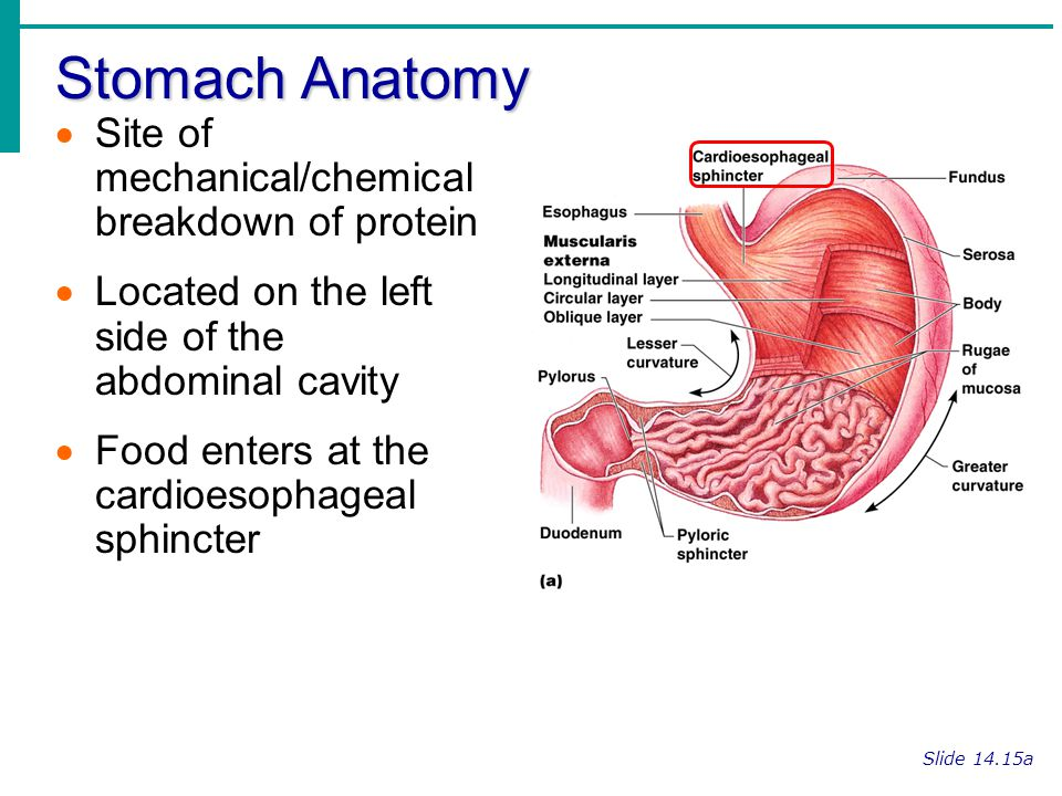 Stomach Anatomy Site of mechanical/chemical breakdown of protein