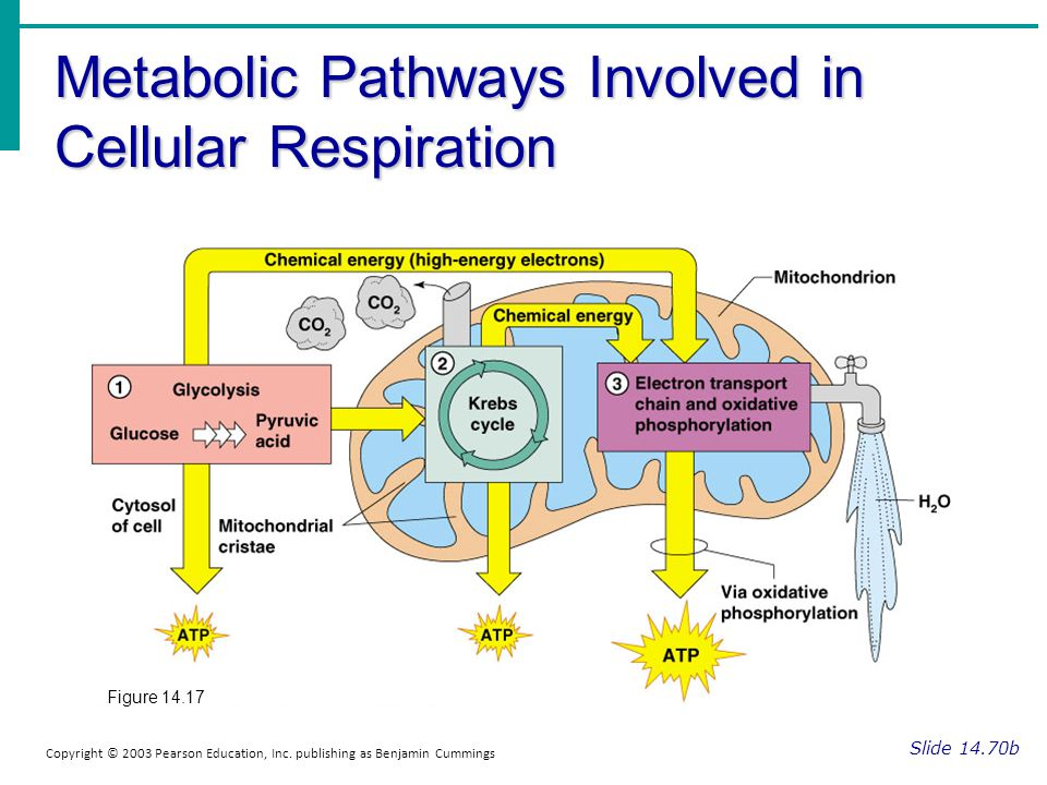 Metabolic Pathways Involved in Cellular Respiration