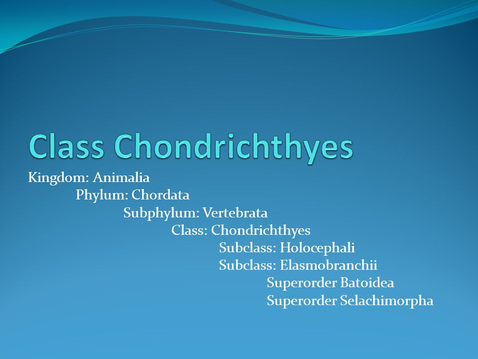 Class Chondrichthyes Kingdom: Animalia Phylum: Chordata