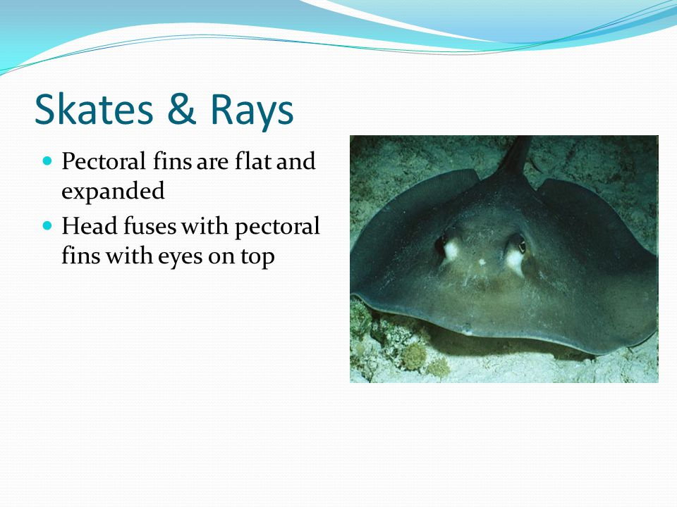 Skates & Rays Pectoral fins are flat and expanded