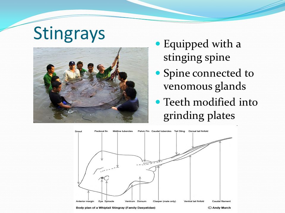 Stingrays Equipped with a stinging spine