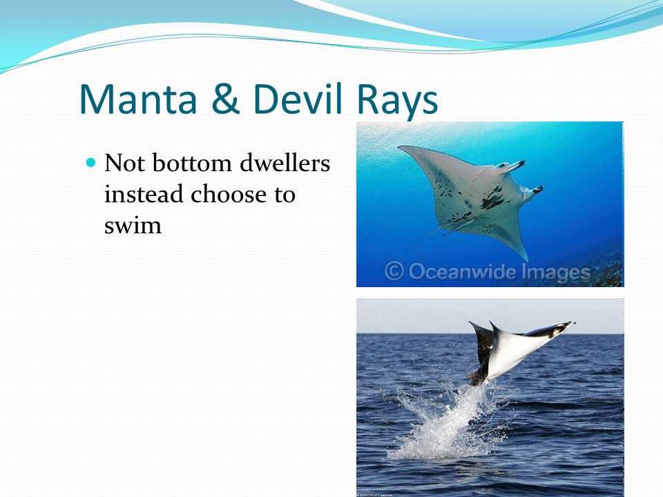 Manta & Devil Rays Not bottom dwellers instead choose to swim