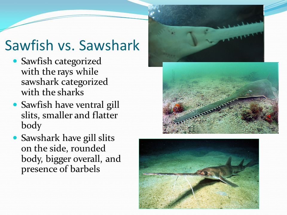 Sawfish vs. Sawshark Sawfish categorized with the rays while sawshark categorized with the sharks.