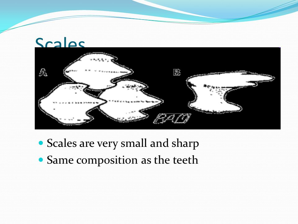 Scales Scales are very small and sharp Same composition as the teeth