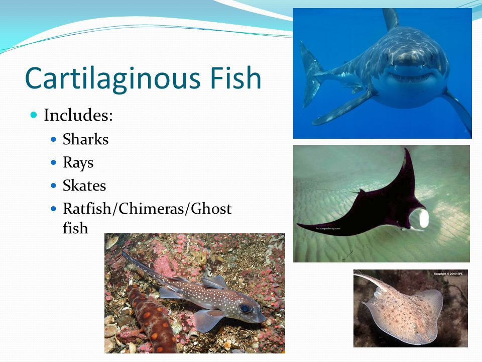 Cartilaginous Fish Includes: Sharks Rays Skates