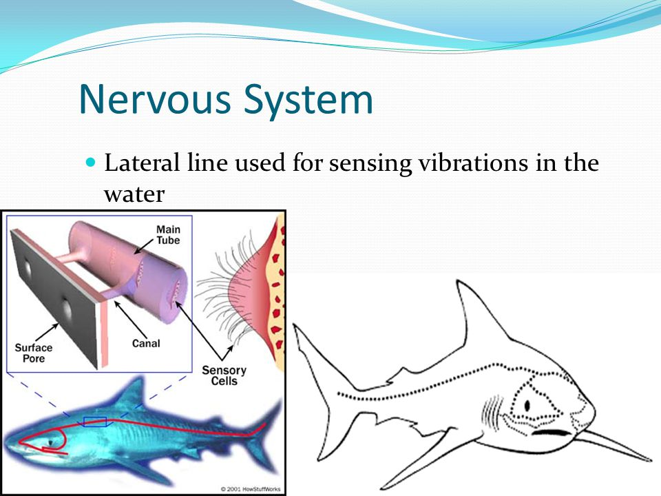 Nervous System Lateral line used for sensing vibrations in the water