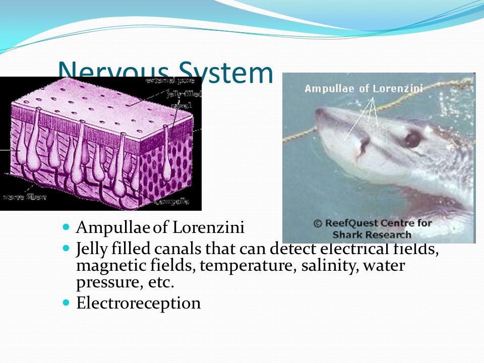 Nervous System Ampullae of Lorenzini