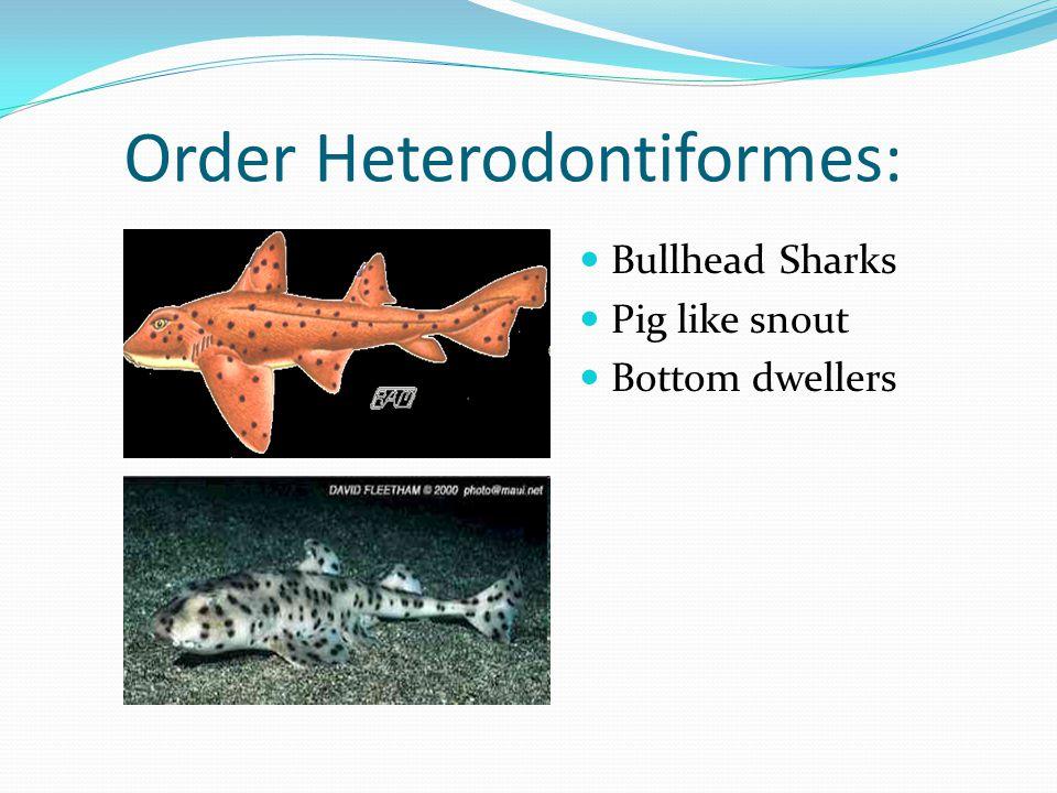 Order Heterodontiformes: