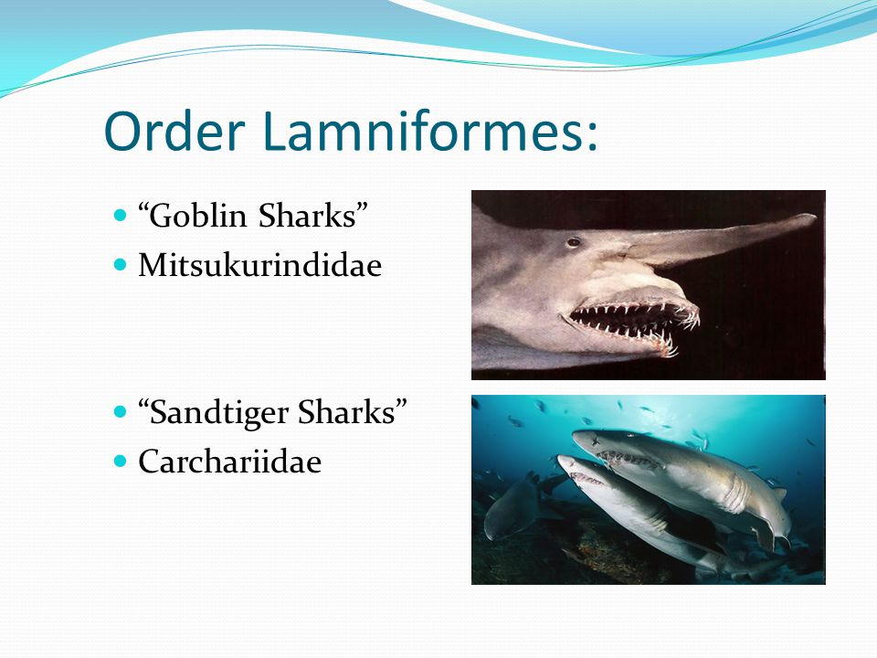 Order Lamniformes: Goblin Sharks Mitsukurindidae Sandtiger Sharks
