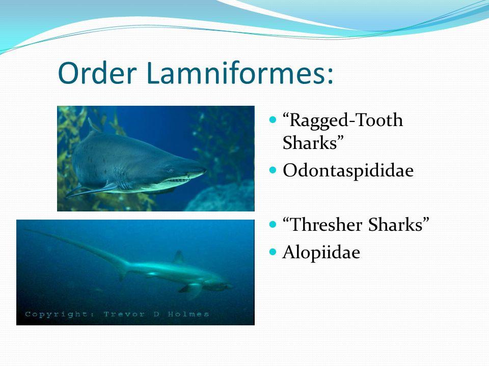 Order Lamniformes: Ragged-Tooth Sharks Odontaspididae