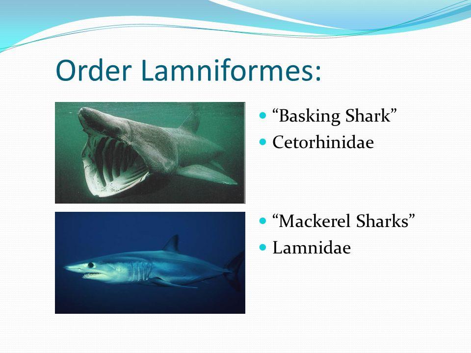 Order Lamniformes: Basking Shark Cetorhinidae Mackerel Sharks