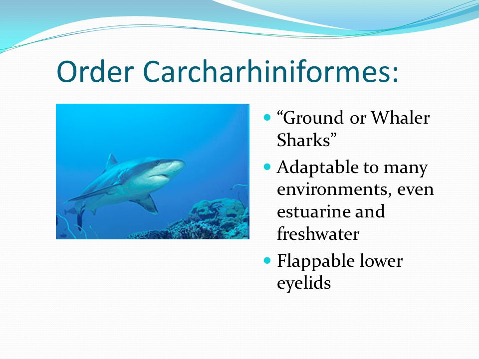 Order Carcharhiniformes: