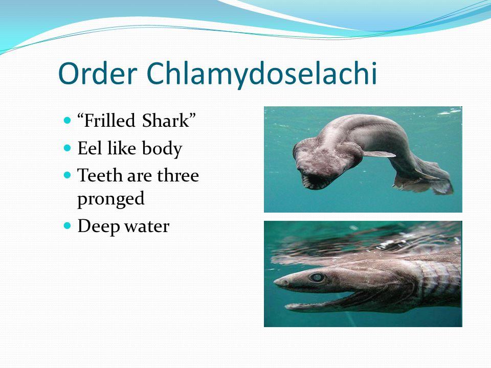 Order Chlamydoselachi