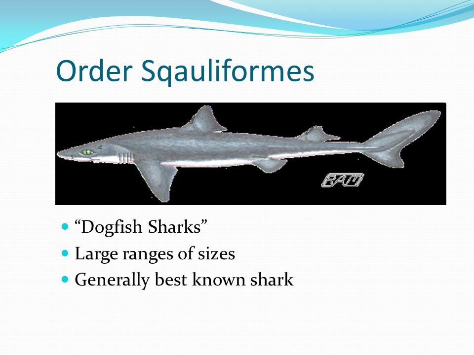 Order Sqauliformes Dogfish Sharks Large ranges of sizes