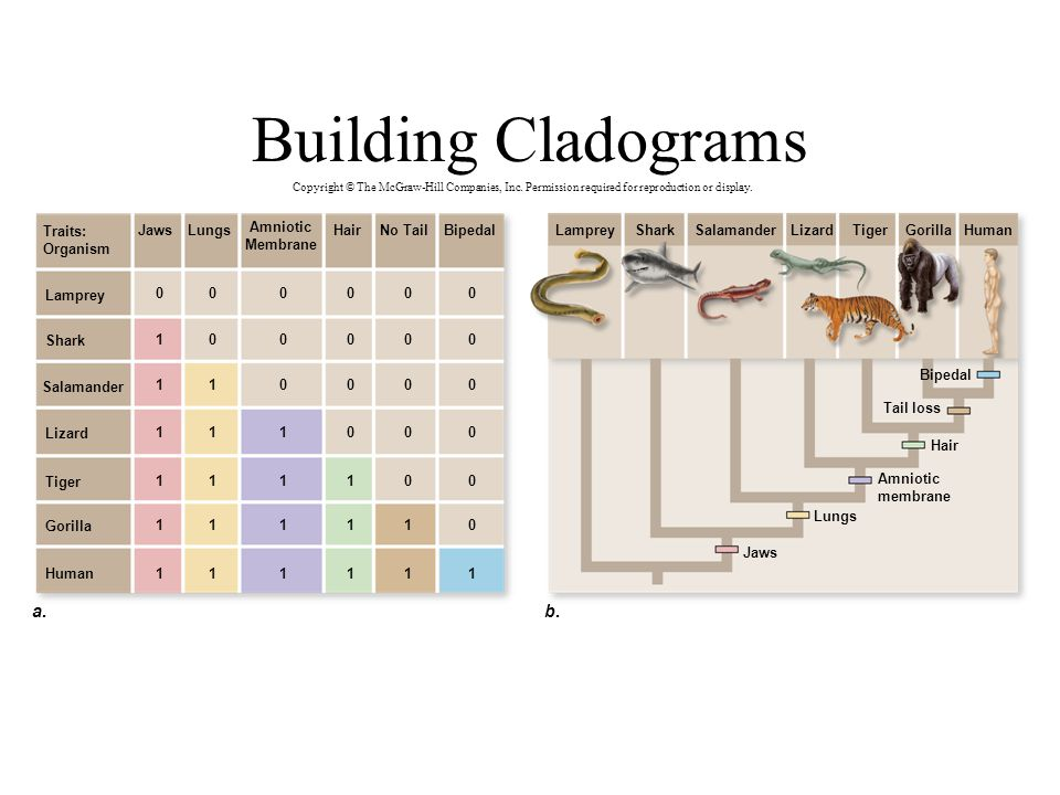 Building Cladograms a. b. Traits: Organism Jaws Lungs Amniotic
