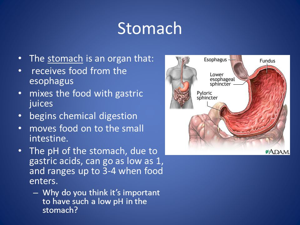 Stomach The stomach is an organ that: receives food from the esophagus