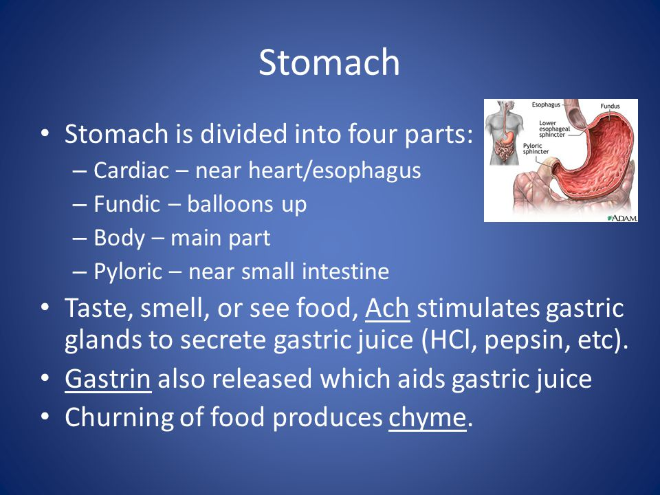 Stomach Stomach is divided into four parts: