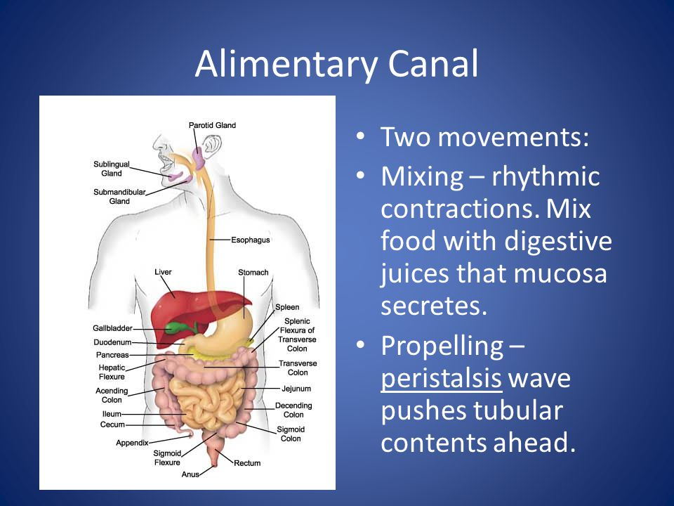 Alimentary Canal Two movements: