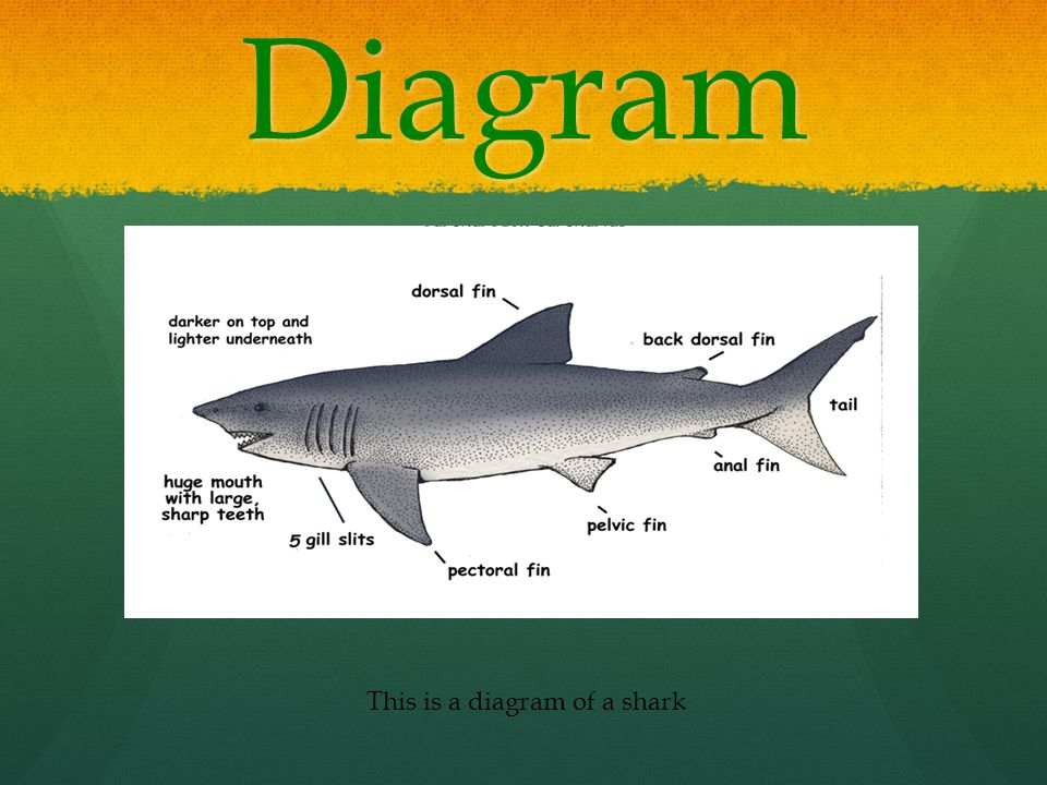 Diagram This is a diagram of a shark