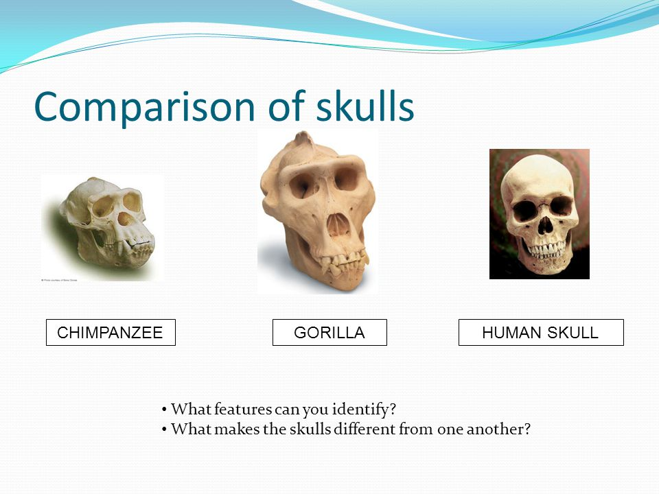Comparison of skulls CHIMPANZEE GORILLA HUMAN SKULL