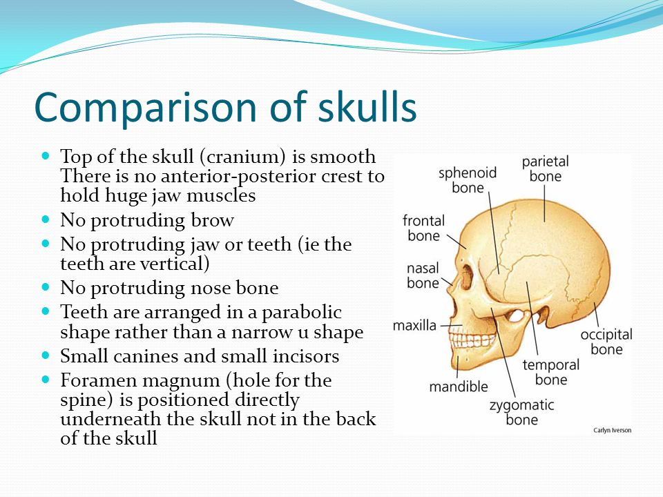 Comparison of skulls Top of the skull (cranium) is smooth There is no anterior-posterior crest to hold huge jaw muscles