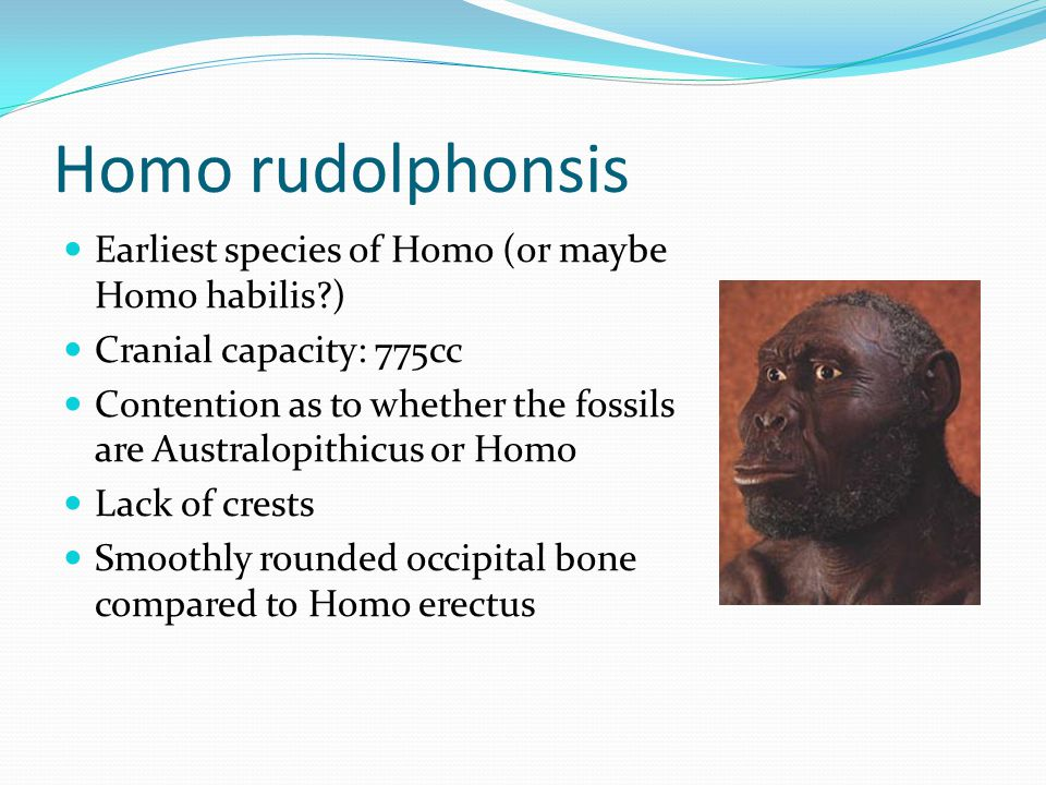 Homo rudolphonsis Earliest species of Homo (or maybe Homo habilis )