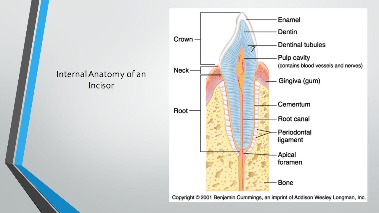Internal Anatomy of an Incisor