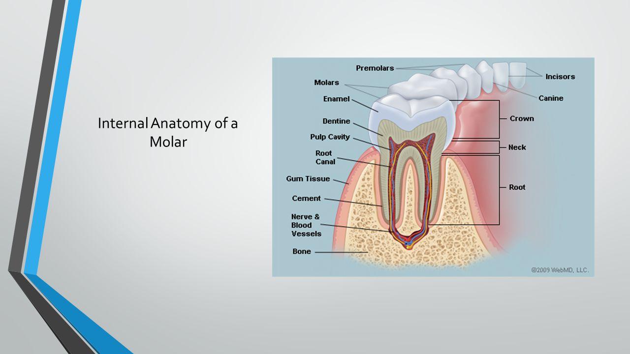 Internal Anatomy of a Molar