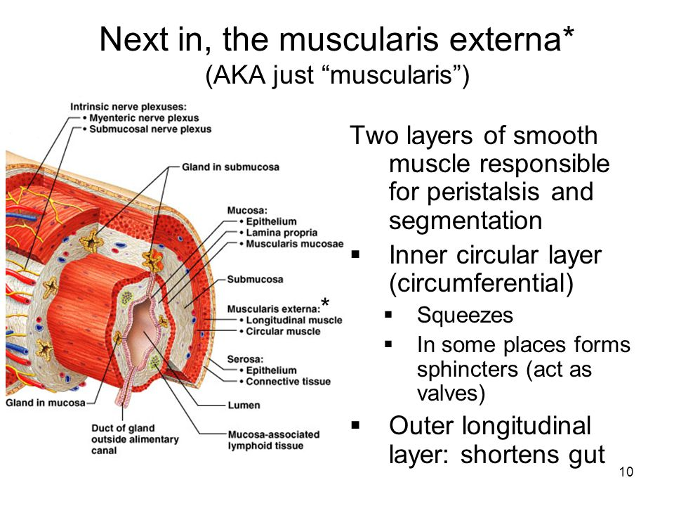 Next in, the muscularis externa* (AKA just muscularis )