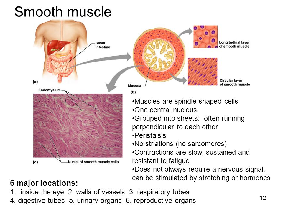 Smooth muscle Smooth muscle 6 major locations: