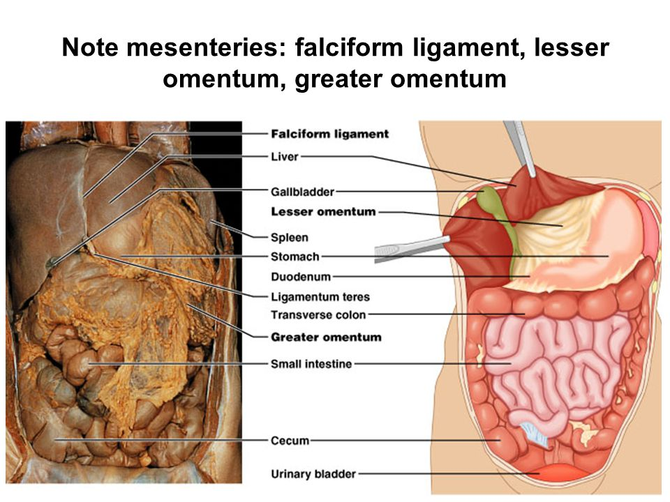 Note mesenteries: falciform ligament, lesser omentum, greater omentum