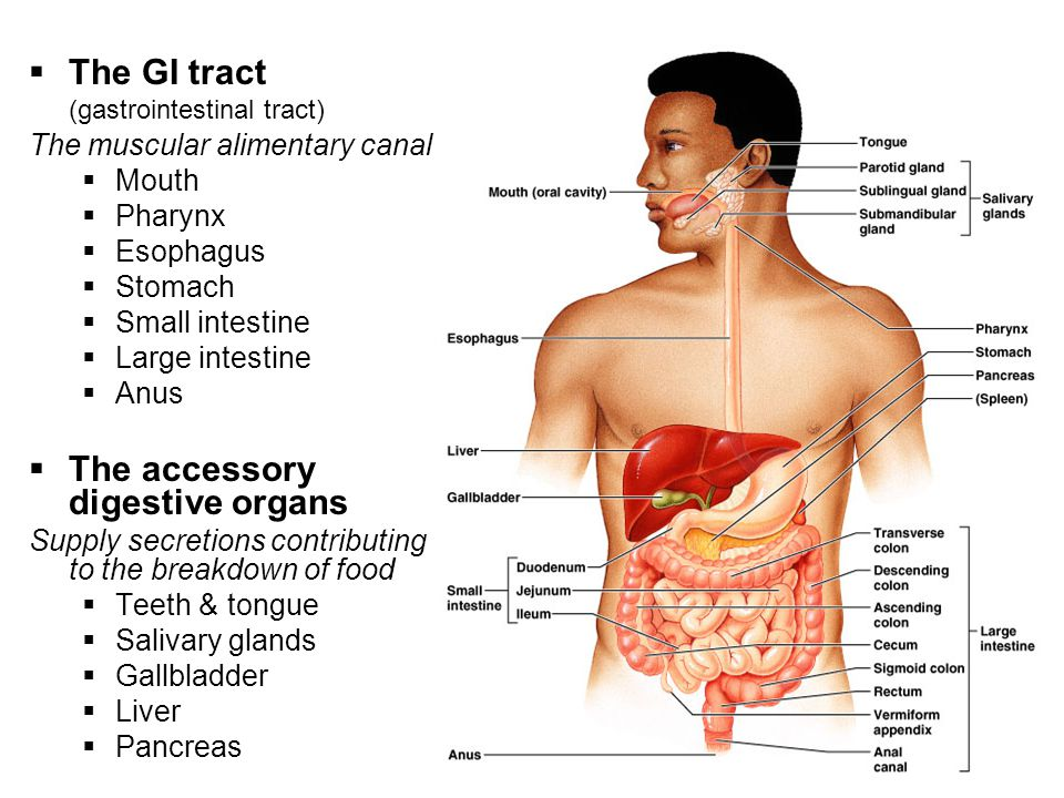The GI tract (gastrointestinal tract)