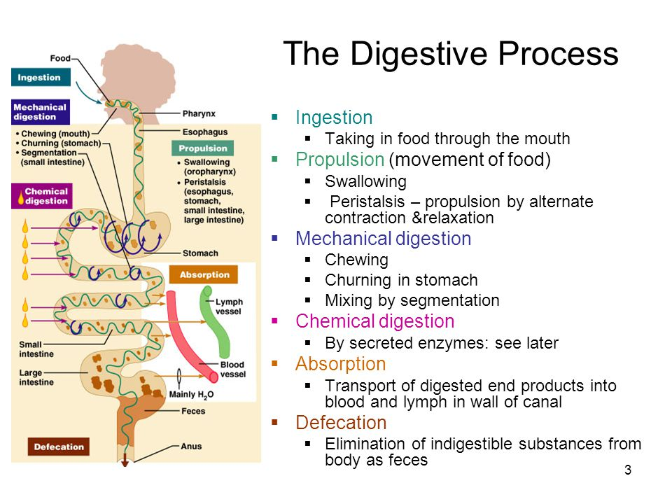 The Digestive Process Ingestion Propulsion (movement of food)